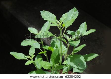 basil fresh leaves from the garden - stock photo