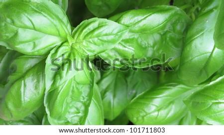 Basil grown in pot - stock photo