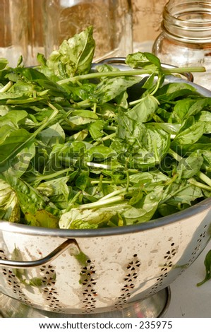 Basil in a collander - stock photo