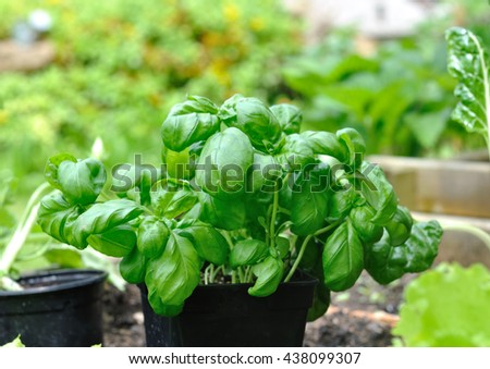 basil in pot  in a vegetable garden  - stock photo