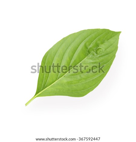 Basil leaf isolated on white background. This has clipping path. - stock photo