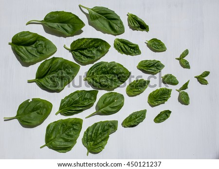 basil leaves on a white background, green basil leaves. - stock photo