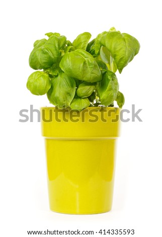Basil plant in a green pot against white background - stock photo