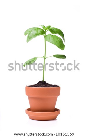 Basil plant in small pot. Isolated on white background. - stock photo