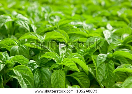 Basil plants at an organic commercial farm - stock photo