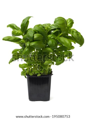 Basil plants in a pot isolated on white background - stock photo