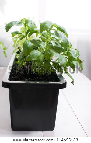 basil potted indoors in black pot - stock photo