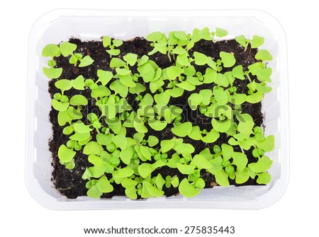 Basil seedlings in a pot isolated on white background. Young herb plants in plastic cells, organic gardening. Top view. - stock photo