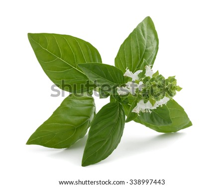 Basil with flowers  isolated on white background - stock photo
