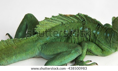 Basiliscus plumifrons - the skin of an adult green basilisk, also known as double crested basilisk, or Jesus Christ lizard, sitting on a white background. - stock photo