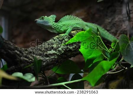 basilisk is an reptile like snake - stock photo
