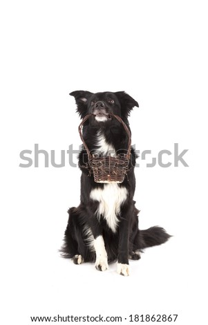 Basket carrying Border collie  - stock photo