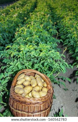 Basket full of potatoes in a potato field - stock photo