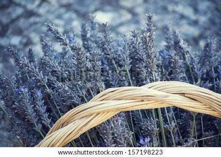 Basket of lavenders / fresh lavenders harvest / lavender aroma - stock photo