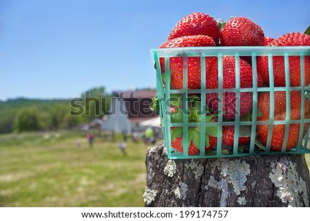 Basket of strawberries on fence in Delaplane, Virginia. - stock photo