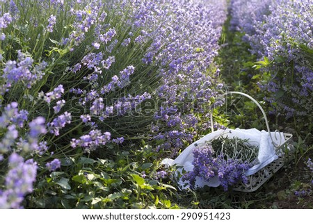 Basket with a lavender - stock photo