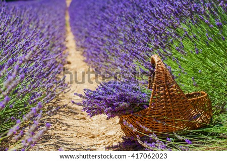 Basket with a lavender in lavander fields in Valensole. Provence, France. - stock photo