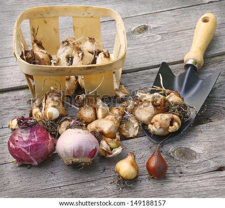 Basket with bulbs before planting shovel in the ground - stock photo