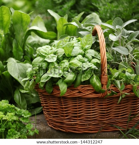 Basket with fresh herbs in herb garden. - stock photo