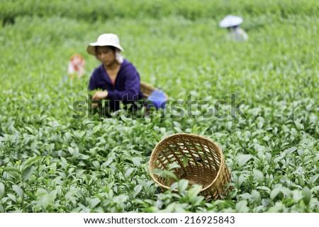 Baskets of tea, put on the tea. - stock photo