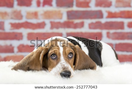 Basset hound begging. Image taken in a studio. - stock photo