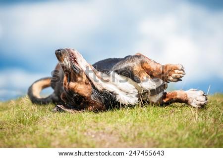 Basset hound dog having fun of the lawn - stock photo