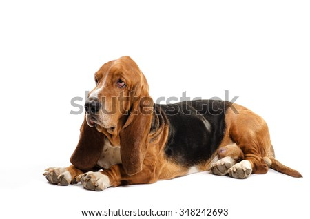 Basset Hound dog laying on the white background and looking to the side - stock photo