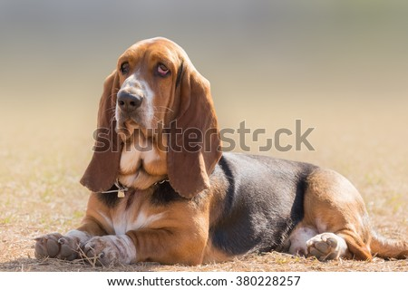 Basset hound dog portrait having a serious, yet funny cute look. - stock photo