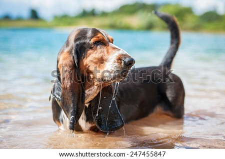 Basset hound dog standing in the water - stock photo