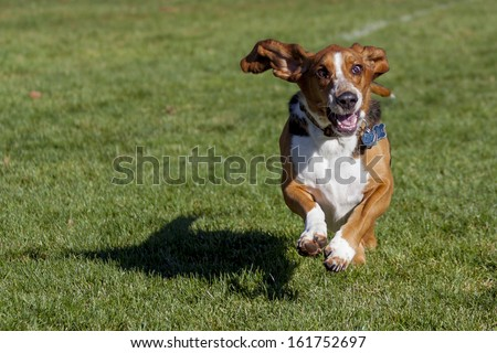 Basset hound having fun running in Colorado off-leash dog park - stock photo