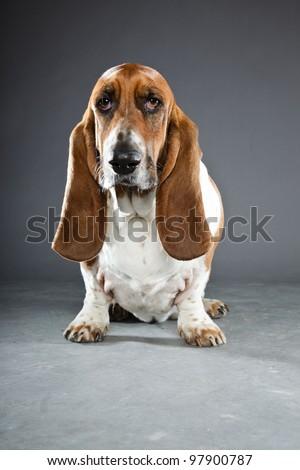 Basset hound isolated on grey background - stock photo
