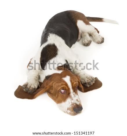Basset Hound isolated on white background - stock photo