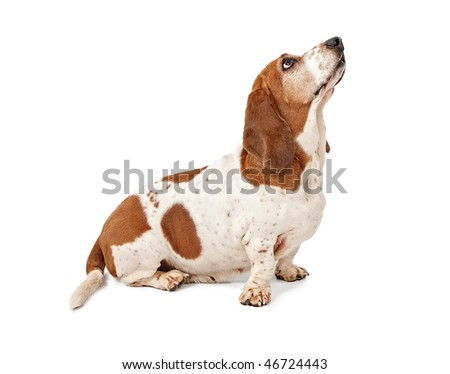 Basset Hound looking for a treat - stock photo