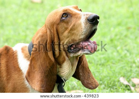 Basset Hound looking up - stock photo