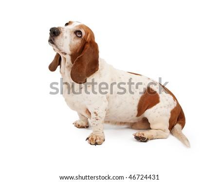 Basset Hound looking up - stock photo