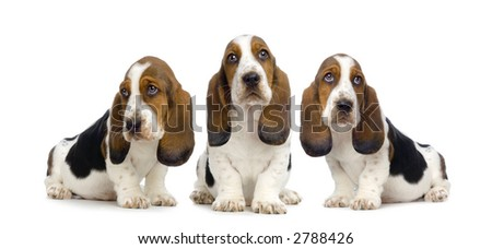Basset Hound Puppies in front of white background - stock photo