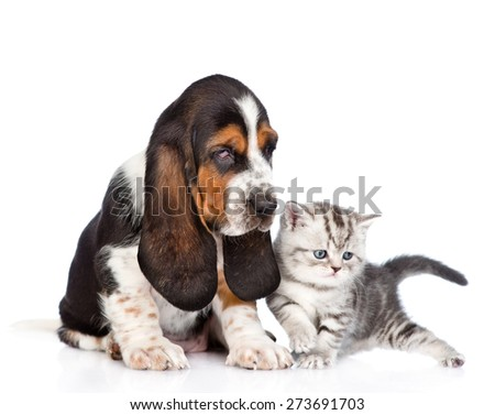 Basset hound puppy sitting with tabby kitten. isolated on white background - stock photo
