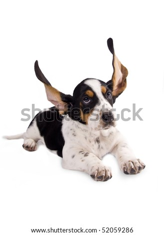 basset hound puppy with his ears flying - stock photo