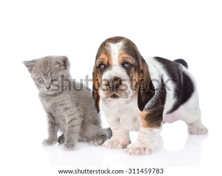 Basset hound puppy with Scottish kitten. isolated on white background - stock photo