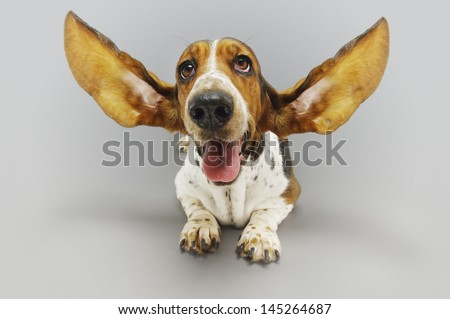Basset hound sitting down with ears extended against gray background - stock photo