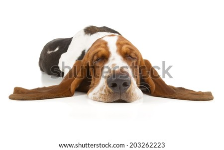 Basset Hound sleeping isolated on white background - stock photo