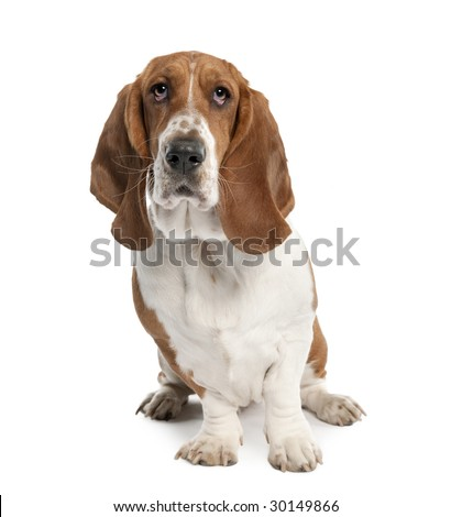 Basset Hound (1 year old) in front of a white background - stock photo