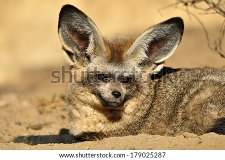 Bat-eared fox - stock photo