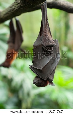 Bat hanging on a tree branch Malayan bat - stock photo