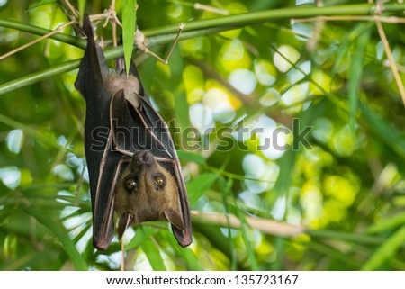 Bat hanging upside-down on a bamboo tree - stock photo