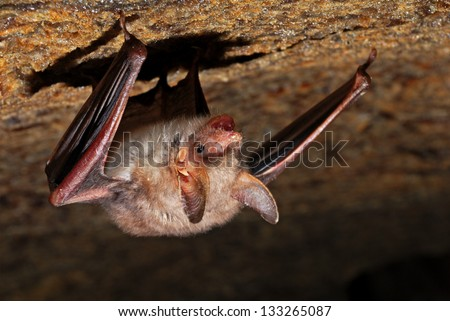 Bat in the cave to the stone trailer - stock photo