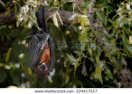 Bat,Lyle's flying fox (Pteropus lylei) - stock photo