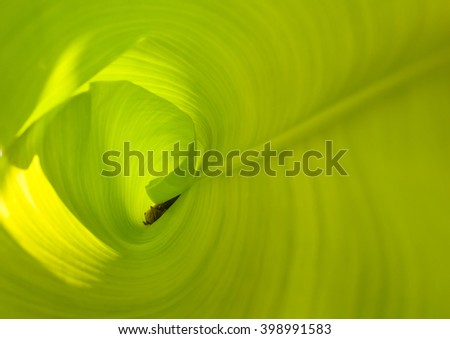 Bat secretly sleeping in a banana leaf. - stock photo