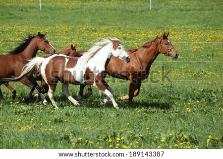 Batch of beautiful horses running on spring pasturage - stock photo