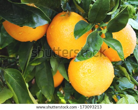 Batch of Oranges on Tree - stock photo